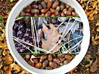 acorns-wild-in-bucket_200.jpg